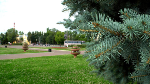 Blue Spruce In The Town Park
