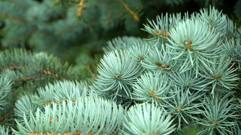 Blue Spruce In The Town Park 0