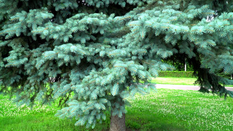 Blue Spruce In The Town Park 1