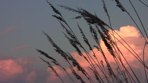 Dried herbs profiled on a sky with clouds illuminated by the sun at sunset 38 Footage