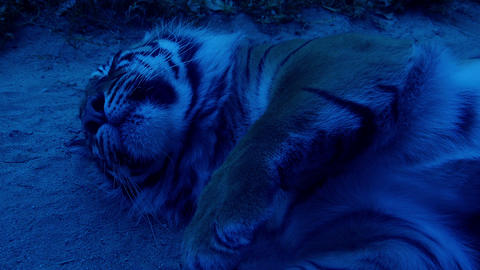 Sleeping tiger in the night Footage