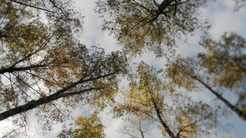 Awesome autumn forest. The tops of the trees bear against the blue sky. Falling Footage
