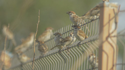 Flock Of Sparrows Sitting On A Fence stock footage