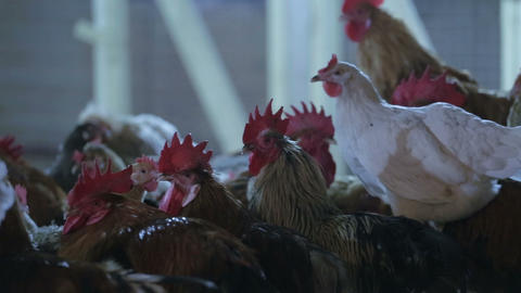 Cocks and hens on the farm Footage