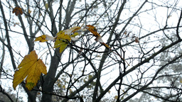 Autumn park (forest - trees) - fallen leaves - tree branch with spider web - clo Footage