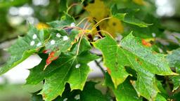autumn tree (forest) - detail autumn leaves - water drops on leaf - illness tree Footage