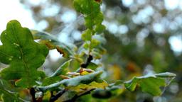 autumn tree - detail autumn leaves - wind Footage