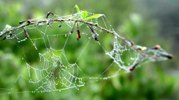tree branch - dew on spider web - nature Footage
