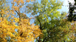 Autumn forest (park - trees) - treetop - blue sky Footage