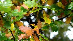 autumn tree - detail autumn leaves Footage