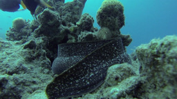 Moray eel in the red sea Footage