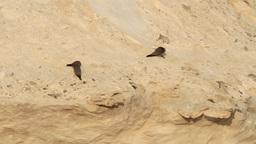 Sooty falcon Footage