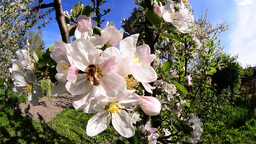 Bees looking for pollen from flowers apple orchard in the backyard 4 Footage
