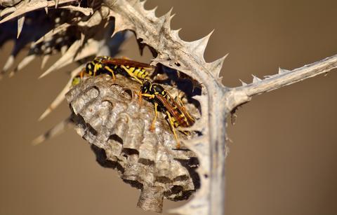 Wasp nest under wild thistle Fotografía