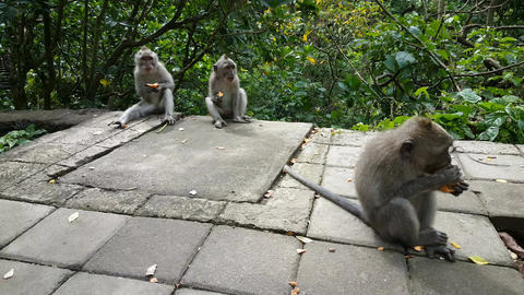 Wild monkeys in Monkeyforest, Ubud, Bali, Indonesia Footage