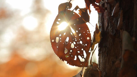 Dead Leaf with Holes / Morning Sunshine / Autumn Leaves / Bokeh - Fix Footage