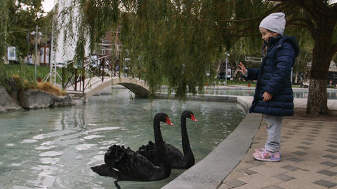 Child and couple of black swans swimming in a calm pond in the park Footage
