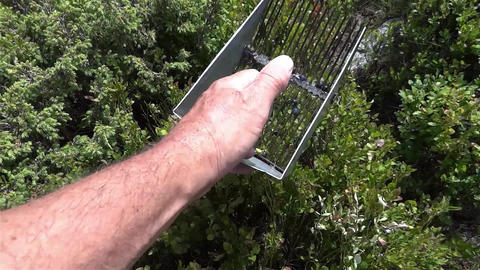 He picks blueberries with a mechanical device from a bush located in the forest Footage