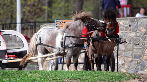 Pony harnessed to small carts expects tied master is arrival Footage