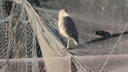 Night heron stands on net Footage