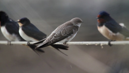 Barn swallow flock on string Footage