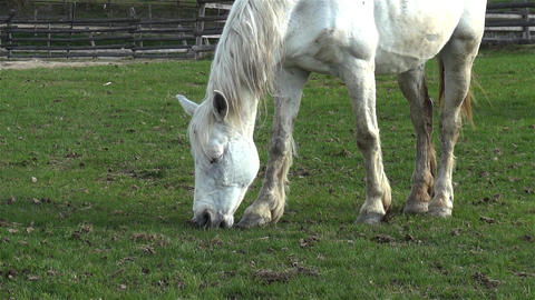 White horse eating green grass on a pasture enclosed with a wooden fence 1 Footage