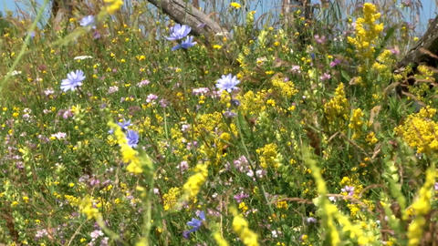Yellow flowers and blue and pink that moves in the wind dry of summer 1 Footage