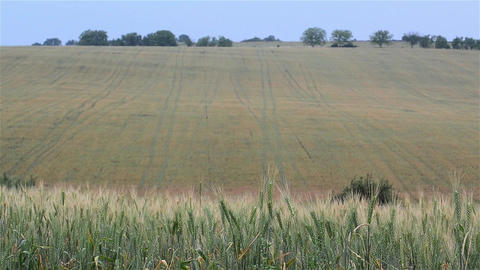 Wheat crop which is not yet ripe and harvested barley field 3d Footage