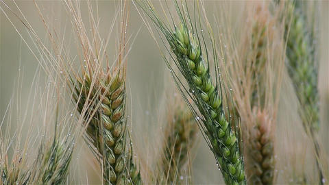 Wheat Ears Bathed By Rainwater Summer Cold 4 stock footage