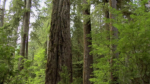 Redwood Tree in California Footage