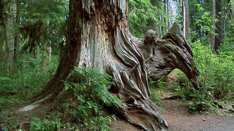 Dead Standing Tree at Olympic National Park, Washington Live Action