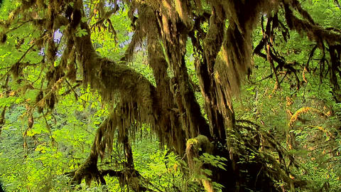 The Mable Grove inside the Hoh Rain Forest at Olympic National Park, Washington ビデオ