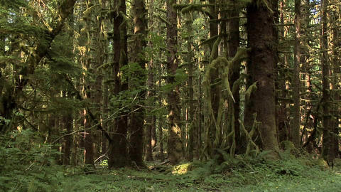 Forest inside the Olympic National Park, Washington Live Action