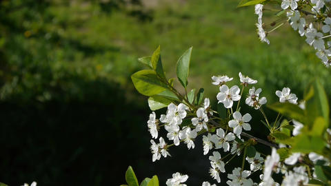 flowering cherry and apple trees in the garden, spring Footage