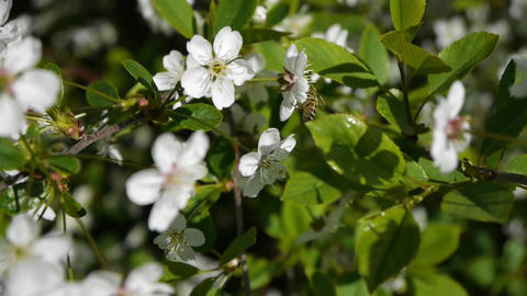 flowering orchard, cherry pear apples. Spring. the bee pollinates the flower, Footage