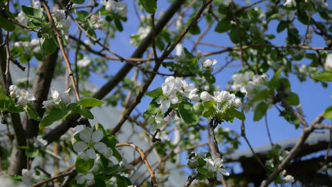 blooming cherry and apple trees in the garden. spring, flying bees, pollinating Footage