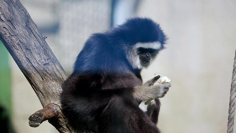 Male White Handed Gibbon Footage
