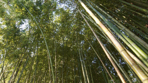 Bamboo forest at the evening Footage