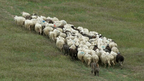 Flock of sheep watched by dog on field in Tuscany Footage