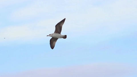Sea bird soaring through blue sky. Seabird in Flight Footage