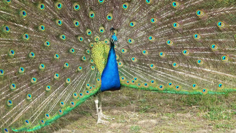 Peacock with feathers out Footage