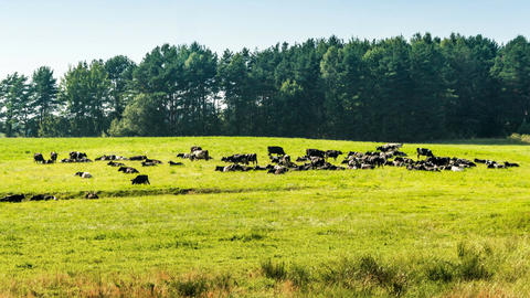 A herd of cows on green grass near forest time lapse Footage