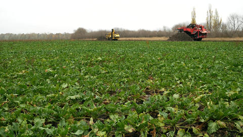 Sugar beets on field farm Archivo