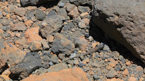 Lizard hides under rocks GIF