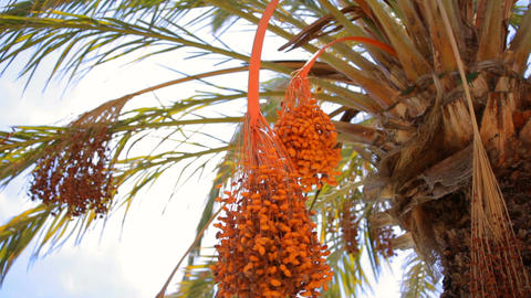 Fruits on date palm Footage