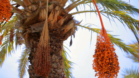 Fruits on date palm Stock Video Footage