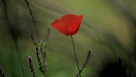 red flower on a green background. Red poppy in a green field at the foot of the Live Action