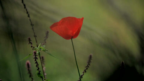 red flower on a green background. Red poppy in a green field at the foot of the GIF