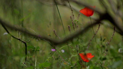 red flower on a green background.Gentle wildflowers, wildlife. Field with GIF
