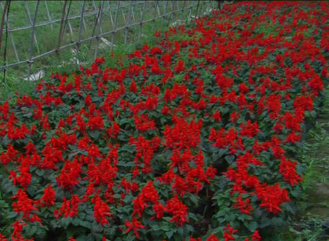 Red flowers grown in green house Footage